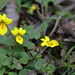 Viola wallichiana - Photo (c) Suresh Ghimire, all rights reserved