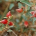 Berry Saltbush - Photo (c) Jem, all rights reserved