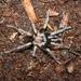 Cardiopelma - Photo (c) arachnida, all rights reserved
