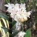 Epidendrum chioneum - Photo (c) naisla, todos los derechos reservados