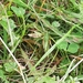 Veneto Mountain Grasshopper - Photo (c) Federica Gennari, all rights reserved