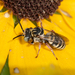 Bees and Apoid Wasps - Photo (c) Heather Holm, all rights reserved