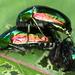 Callistethus auronitens - Photo (c) gernotkunz, כל הזכויות שמורות