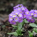 Drumstick Primrose - Photo (c) Suresh Ghimire, all rights reserved
