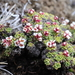 Saxifraga andersonii - Photo (c) Suresh Ghimire, all rights reserved
