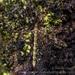 Austrolimnophila argus - Photo (c) Danilo Hegg, todos los derechos reservados