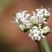 Florestina tripteris - Photo (c) carlos mancilla, כל הזכויות שמורות