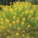 Ericameria arborescens - Photo (c) David Durr, todos los derechos reservados