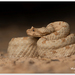 Field's Horned Viper - Photo (c) Thor Håkonsen, all rights reserved