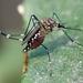 Mosquito Africano de la Fiebre Amarilla - Photo (c) Cedric Lee, todos los derechos reservados