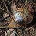 Humboldtiana fasciata - Photo (c) Anne, todos os direitos reservados