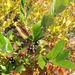 Aronia floribunda - Photo (c) neilvinson, all rights reserved, uploaded by Neil Vinson