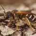 Halictus - Photo (c) Henk Wallays, all rights reserved