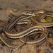 Psammophis notostictus - Photo (c) Chad Keates, todos los derechos reservados