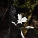 Gymnosiphon suaveolens - Photo (c) dennis_medina, todos los derechos reservados
