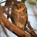 Spotted Owlet - Photo (c) Leonard Worthington, all rights reserved