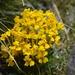 Pedicularis longiflora tubiformis - Photo (c) Mervin D Souza, todos los derechos reservados