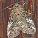 Gray Marvel Moth - Photo (c) Alain Hogue, all rights reserved
