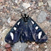 Alypiodes bimaculata - Photo (c) Jay Keller, todos los derechos reservados, uploaded by Jay L. Keller