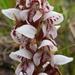 Disa tenuicornis - Photo (c) Sue Stuckie, todos los derechos reservados