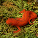 Eastern Newt - Photo (c) mattbuckingham, all rights reserved