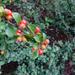 Cotoneaster hjelmqvistii - Photo (c) Miranda Engelshoven, todos los derechos reservados