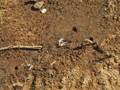 Leptuca leptodactyla image