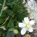 three-toothed cinquefoil - Photo (c) Brooke Marie Piepenburg, all rights reserved