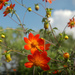 Red Dahlia - Photo (c) Jorge Rojas S., all rights reserved