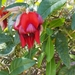 Dusky Coral Pea - Photo (c) rosalie_neve, all rights reserved
