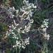 Eupatorium pubescens - Photo (c) jtuttle, kaikki oikeudet pidätetään