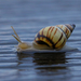 Bulimulidae - Photo (c) Chris McCreedy, kaikki oikeudet pidätetään