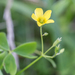 Upright Yellow Woodsorrel - Photo (c) Bill Keim, some rights reserved (CC BY)