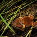 Sheep Frog - Photo (c) Elí García-Padilla, all rights reserved