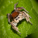 Habronattus forticulus - Photo (c) Jason Penney, all rights reserved