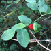 Vaccinium parvifolium - Photo (c) mtncatt, todos os direitos reservados