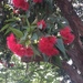 Red-flowering Gum - Photo (c) gleneco, all rights reserved