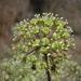 Aralia - Photo (c) guadalupe_cornejo_tenorio, todos los derechos reservados