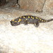 Corsican Fire Salamander - Photo (c) hcuohc, all rights reserved, uploaded by hcuohc