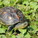 Common Thread Turtle - Photo (c) pintail, all rights reserved, uploaded by Kim, Hyun-tae