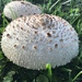 Chlorophyllum - Photo (c) ierik, all rights reserved