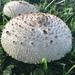 Chlorophyllum - Photo (c) ierik, todos os direitos reservados