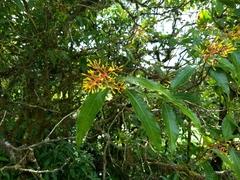 Palicourea padifolia image