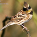 Yellow-throated Bunting - Photo (c) pintail, all rights reserved, uploaded by Kim, Hyun-tae