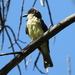 Thick-billed Kingbird - Photo (c) Jay Keller, all rights reserved, uploaded by Jay L. Keller