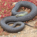 Western Montpellier Snake - Photo (c) Bald Ibis, all rights reserved