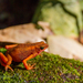 Cayenne Stubfoot Toad - Photo (c) J.P. Lawrence, all rights reserved