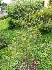 Psidium friedrichsthalianum image