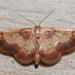 Red-bordered Wave - Photo (c) Eric Williams, all rights reserved