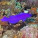 Pseudochromis fridmani - Photo (c) Lesley Clements, todos los derechos reservados